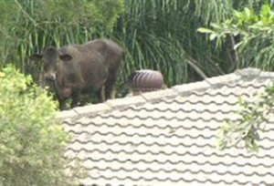 A cow trapped on a roof after floods, North Booval, Queensland, January 2011 (photo: John Jewell)